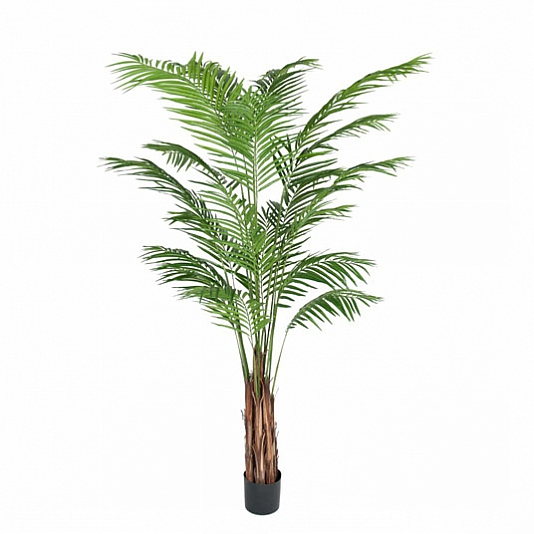 Areca_palm